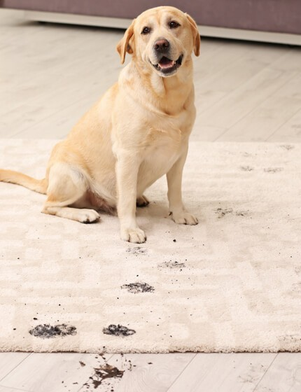 Dog footprints on rug | Assured Flooring